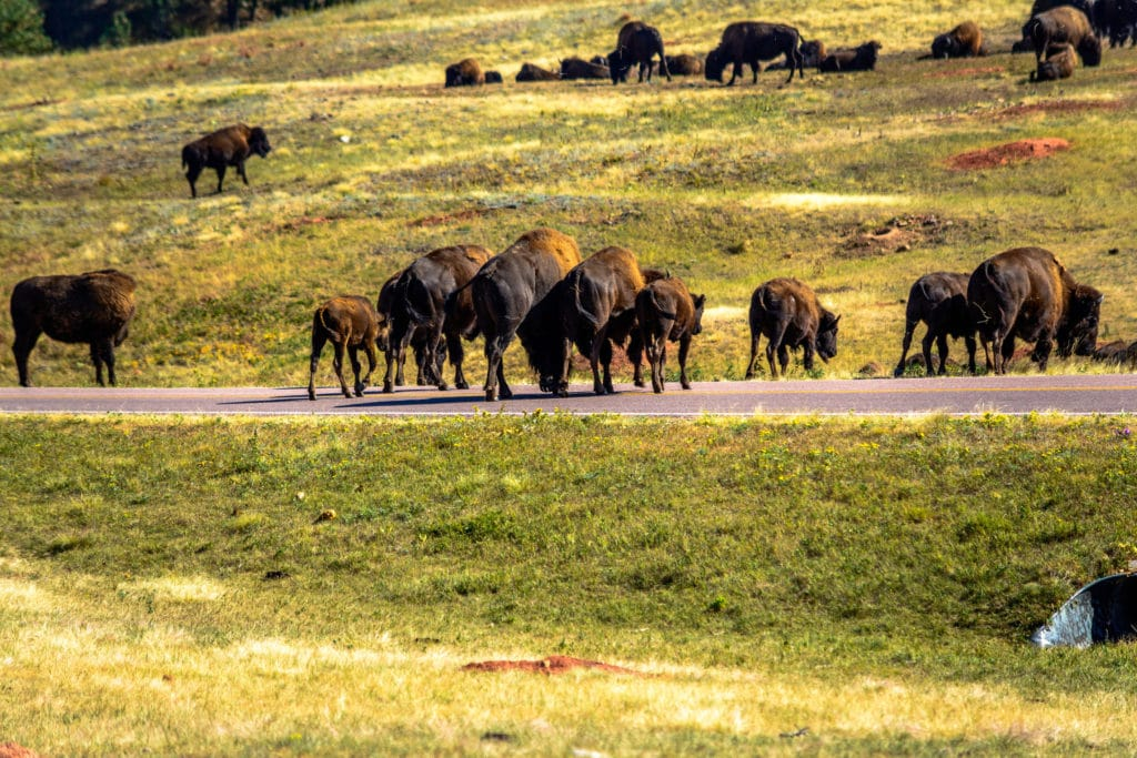 Bison in custer