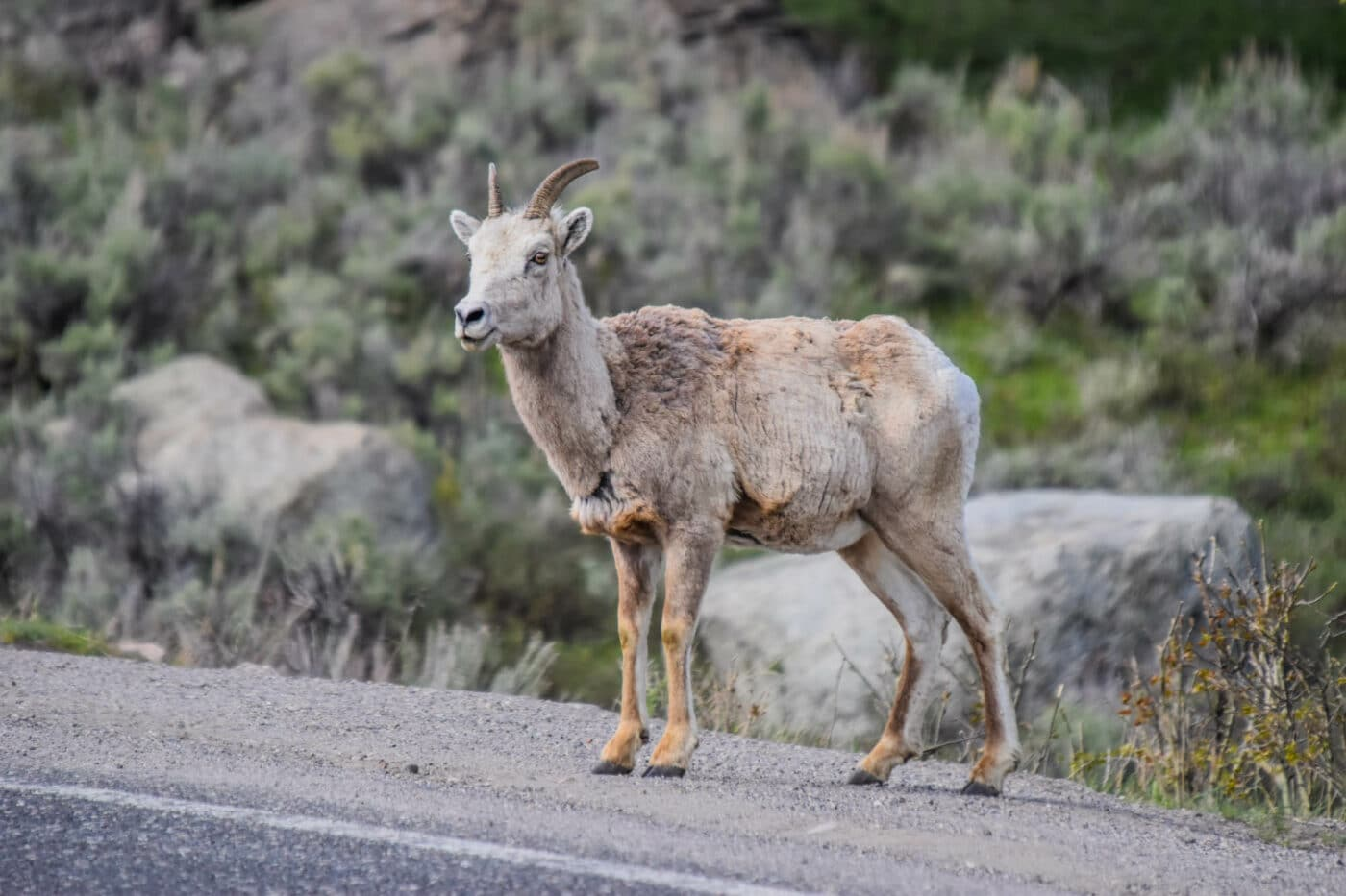 How to Get to Yellowstone - Bighorn sheep
