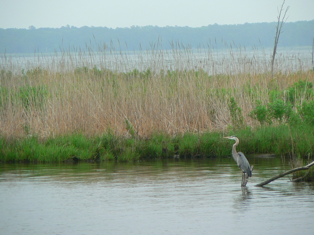 A mashy area next to a river with a Great Blue Heron.