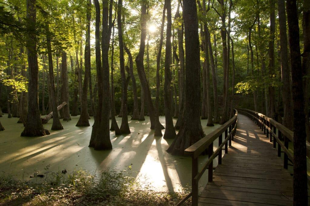 A boardwalk explores a cyprus swamp