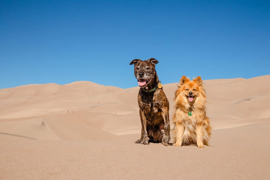 Two dogs in the sand at Sand Dunes National Park: Dog friendly National Parks