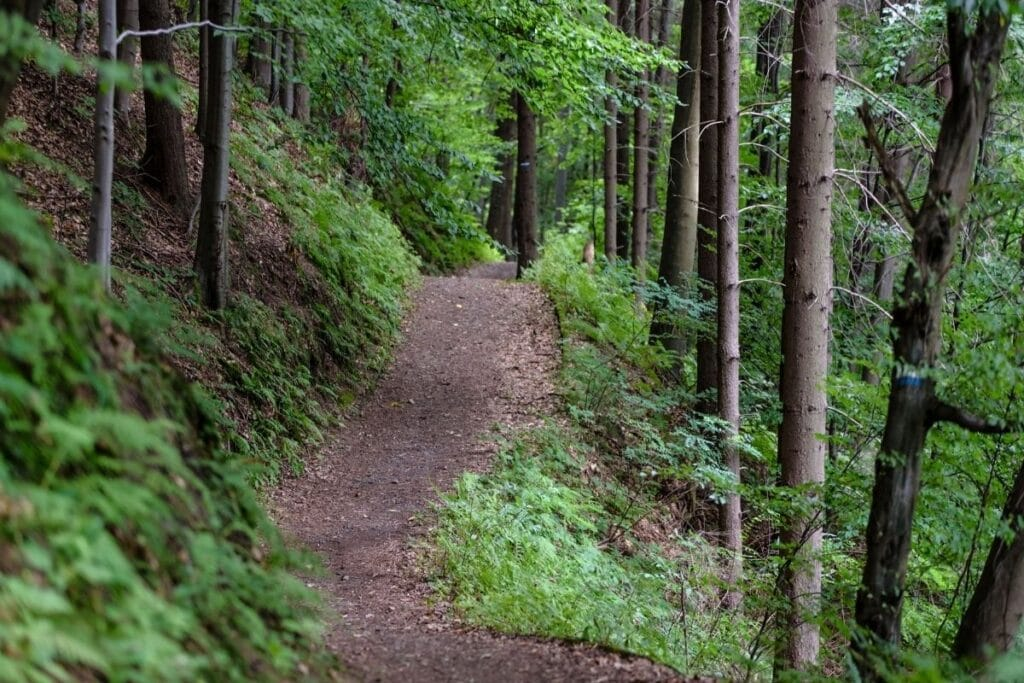 A trail in a green forest