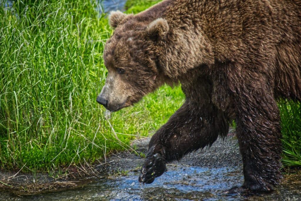 An Alaskan Brown Bear walking in some water.