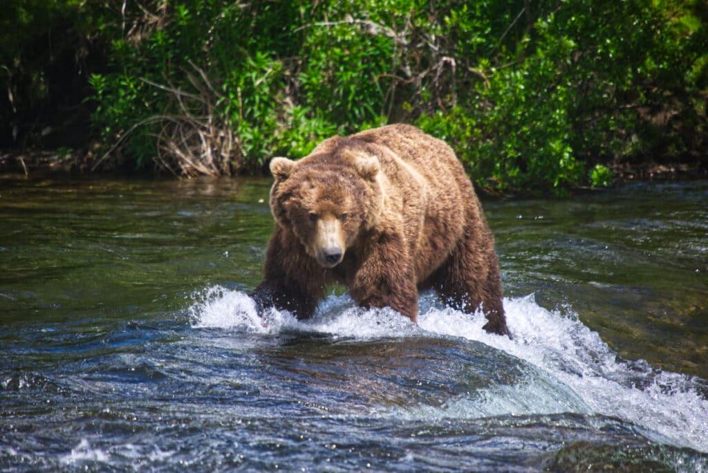 Alaskan Brown Bear wadding through the water of Brooks River