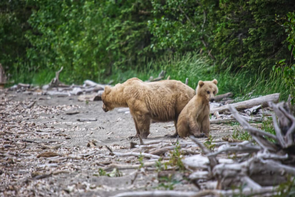 A female brown bear and her yearling cub standing on the beach at Brooks Camp