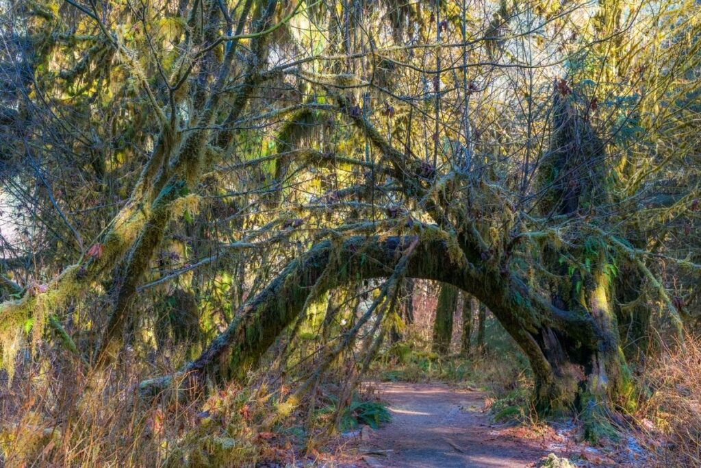 A tree arch in Hoh Rainforest