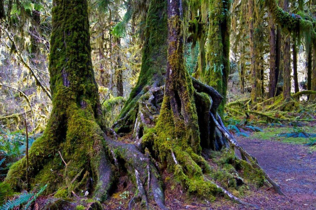 A tree stump in Hoh Rainforest