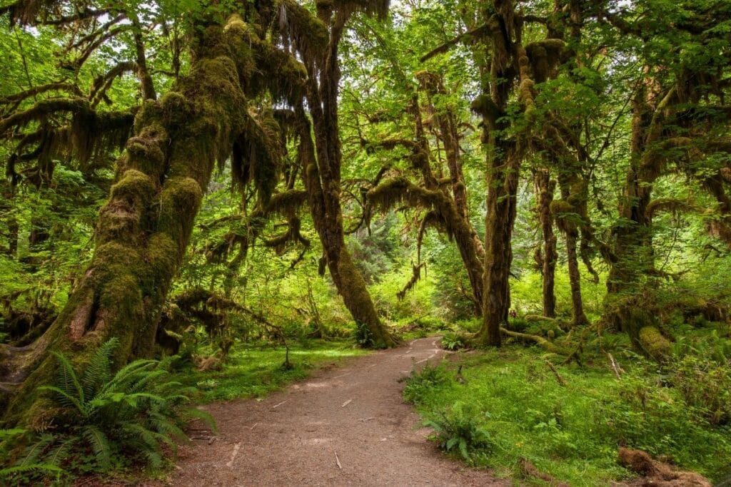 Moss covered trees along a hiking trail.