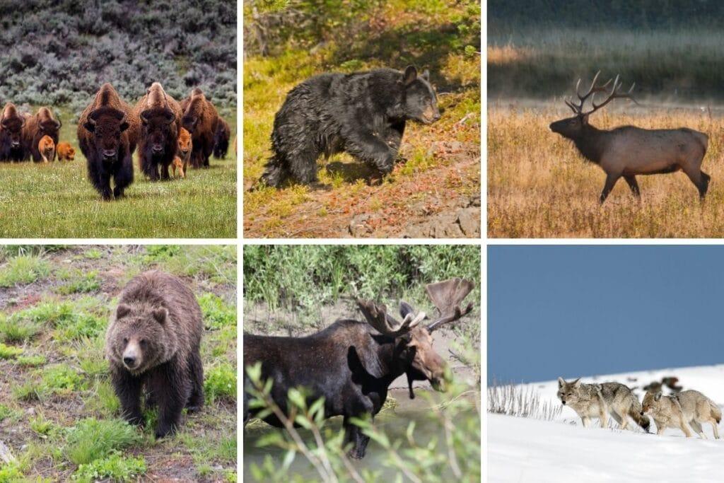 Copulation of Yellowstone's Wildlife